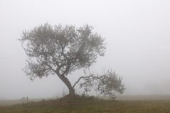 Isolated olive tree in the field. Olive tree isolated in the fog in november royalty free stock photos
