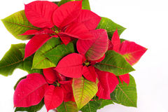 Isolated On White Close Up. Poinsettia Stock Images