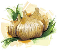 Isolated Onion Sketch Stock Photos