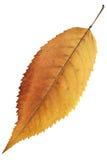 Isolated orange autumn leaf Royalty Free Stock Image