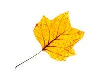 Isolated orange autumn leaf Royalty Free Stock Photo