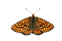 Isolated orange butterfly Stock Image
