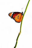 Isolated orange butterfly on a branch. White background Royalty Free Stock Photography