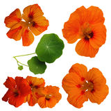 Isolated orange canary creeper Royalty Free Stock Image