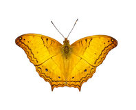 Isolated orange common cruiser butterfly Stock Photo