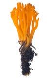 Isolated orange coral fungi Royalty Free Stock Image