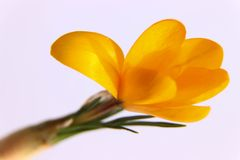Close up of pink a orange isolated crocus. An isolated orange crocus with some leaves. Photographed on a white background Stock Photos