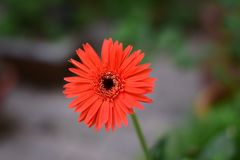 ISOLATED ORANGE FLOWER WITH BLUR BACKGROUND royalty free stock photos