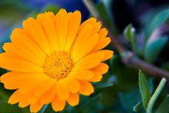 Isolated orange flower. With blurry background Stock Images