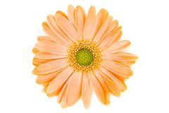 Isolated Orange Gerber Daisy. An isolated orange Gerber Daisy Royalty Free Stock Images