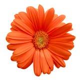 Isolated Orange Gerbera Daisy Royalty Free Stock Photo