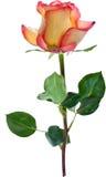 Isolated orange and red single rose illustration Royalty Free Stock Photography