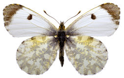 Isolated Orange Tip butterfly. Female Orange Tip butterfly (Anthocharis cardamines) isolated on white background Royalty Free Stock Photography