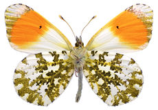 Isolated orange tip butterfly. Macro of male orange tip butterfly (Anthocharis cardamines) seen from below and isolated on white background stock image