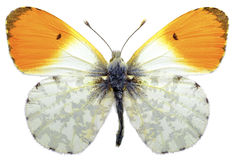 Isolated orange tip butterfly. Macro of male orange tip butterfly (Anthocharis cardamines) isolated on white background Royalty Free Stock Image