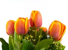 Isolated orange tulips in spring Stock Image