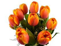 Isolated orange tulips in spring Royalty Free Stock Photos