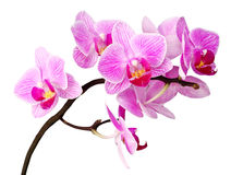 Isolated orchid Royalty Free Stock Photography