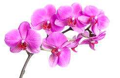 Isolated Orchid Stock Photography