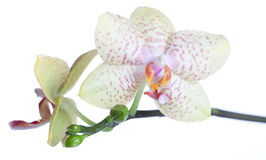 Isolated Orchid Stock Photos