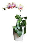 Isolated orchid Royalty Free Stock Images