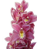 Isolated orchid Stock Images