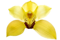 Isolated orchid Royalty Free Stock Photos