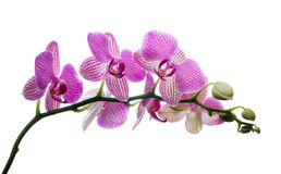 Isolated orchid blossom in dark pink strips Stock Images