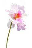 Isolated orchid flower Stock Photo