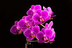 Isolated Orchid Stock Image