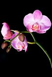 Isolated orchid flowers on black Royalty Free Stock Photos