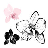 Isolated orchid flowers on white background Royalty Free Stock Images