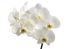 Isolated orchid. On a white background Stock Photo
