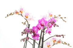 Isolated orchids Royalty Free Stock Photography