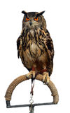 Isolated owl. A beautiful owl in captivity isolated on white Stock Photos