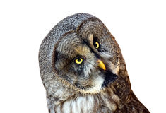 Isolated Owl Royalty Free Stock Photography