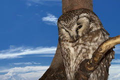 Isolated Owl on the sky background Royalty Free Stock Photo