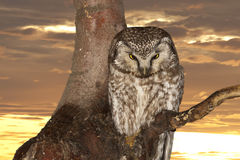 Isolated Owl on the sunset yelllow background Stock Photo