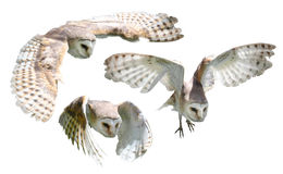 Isolated owls Stock Images