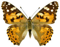 Isolated painted lady butterfly Stock Images