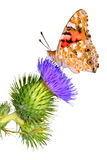 Isolated Painted Lady on thistle Stock Photography