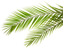 Isolated Palm Leaves Stock Photo