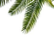 Isolated Palm Leaves. Stock Image