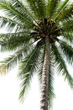 Isolated Palm Tree Stock Images