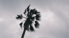 Isolated palm tree against grey cloudy sky. Palm tree leaves swaying in wind. Bottom view of palm tree stock video