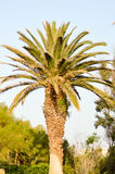 Isolated palm tree in a garden Stock Images