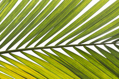Isolated palm tree leaf : for background/design element. Stock Photos