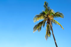Isolated palm tree over a blue sky. Isolated palm tree over a clear blue sky Royalty Free Stock Photos