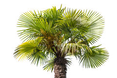 Isolated palm tree top part Royalty Free Stock Photos