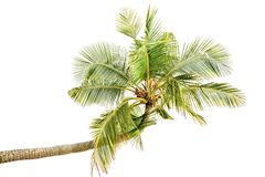 Isolated palm tree Royalty Free Stock Images